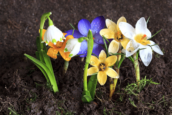 Early spring flowers-Crocuses and Snowdrops