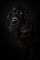 Cocker spaniel puppy on black background