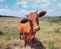 Brown Calf in a farm