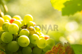 green grapes in sunset light