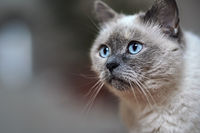 Older gray cat with piercing blue eyes, closeup detail, blurred background