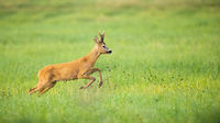 Roe deer disturbed on the vibrant green meadow in summer