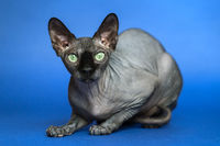 Canadian Sphynx. Portrait of cat on blue background