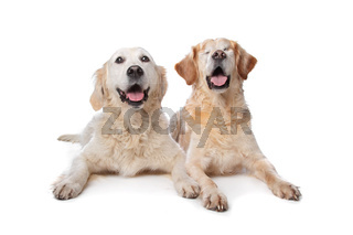 Two Golden Retriever dogs