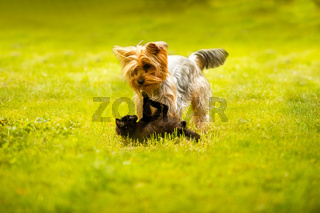 Purebreed dog and black kitten on green lawn