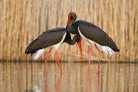Cute portrait of a pair of courting black storks in the water