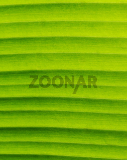 Banana Leaf Textures showing Natural Vein, Closeup, Vertical Pattern