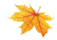 Makelloses goldenes Ahornblatt, hohe Auflösung