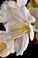 Makroaufnahme einer einzelnen Kirschbaumblüte mit Staubgefäßen und Blütenblätter