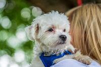 Small mini maltese dog on a woman's arm.