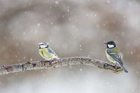 Blaumeise und Kohlmeise bei Schneefall