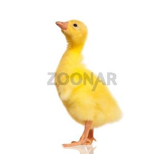Domestic gosling