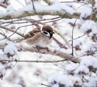 Sparrow sitting on a snow covered tree