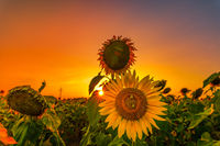 Sunflowers at a glowing orange sunset in the last light of a warm summer day.