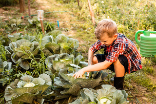 The preschooler with disgust collects cabbage in the garden bed
