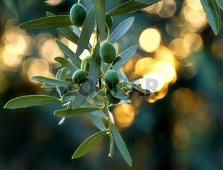Mediterranean Gold; Olives On It's Tree Branch