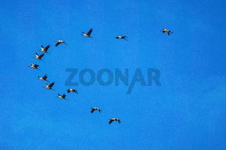 Common crane, Grus grus in Monfrague National Park. Extremadura, Spain