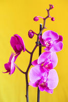 Purple orchid flower phalaenopsis, phalaenopsis or falah. Butterfly orchids. Violet orchid flower and blossoms. Pink Phalaenopsis or Moth dendrobium Orchid flower.