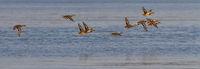 Flock of female mallard ducks flying together