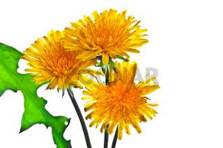 Flowers of dandelion