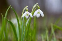 Snowdrop or common snowdrop (Galanthus nivalis) flowers
