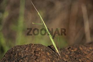 Twig mimic grass mantis, Schizocephala bicornis, Satara, Maharashtra, India