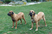 female of guardian dog Fila Brasileiro, Brazilian Mastiff