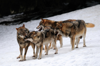 Wolf, Winter