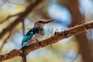 Woodland kingfisher Ethiopia, Africa wildlife
