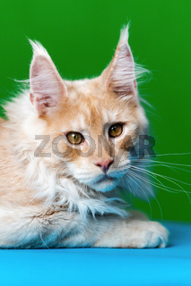 Portrait of red tabby American Forest Cat on light blue and green background