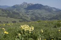 Schlüsselblume  im Gebirge