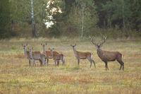 Herd of red deer looking on field in autumn rutting season