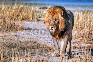 Löwe im Morgenlicht, Etosha-Nationalpark, Namibia, (Panthera leo) | lion in the morning light, Etosha National Park, Namibia