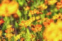 Cosmos flowers in Odaesan