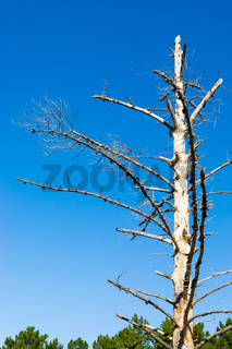 Dead tree-trunk and branches in a Pine Forest Plantation