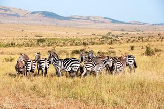 Plains zebra herd, Equus quagga, Masai mara National Reserve, Kenya, Africa