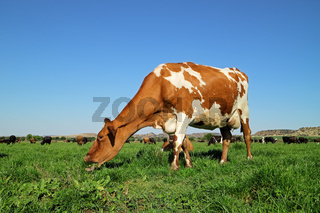 Friesian - Holstein dairy cow grazing on lush green pasture