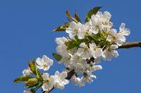 Blüten der Süßkirsche