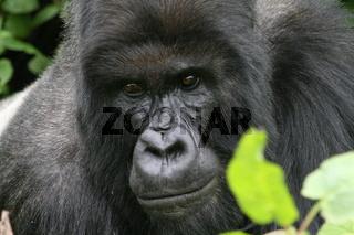 Berggorilla, Gorilla gorilla beringei
