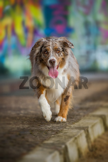 Australian shepherd dog on colorful background