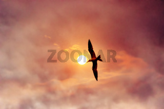 Bergian Tern (Thalasseus bergii)