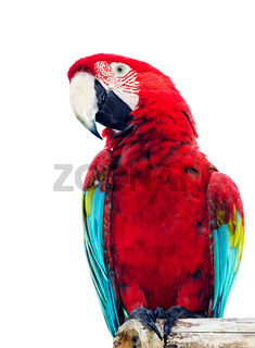 Vivid red parrot