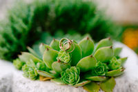 Close-up of wedding rings on the eonium plant on a blurred background.