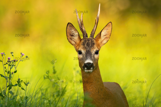 Curious roe deer looking into camera on a summer meadow with green grass
