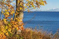 Blätter des Berg-Ahorns in Herbstfärbung an der Küste der Ostsee bei Lübeck-Travemünde