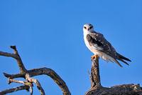 Gleitaar, Etosha NP, Namibia | Black-winged Kite, Etosha NP, Namibia