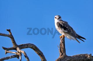 Gleitaar, Etosha NP, Namibia   Black-winged Kite, Etosha NP, Namibia