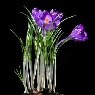 crocus bouquet isolated on black