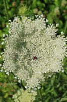 210723-18 Blüte der Möhre, Wild Carrot, Daucus carota .jpg