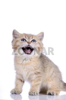 Exotisch Kurzhaar Kätzchen auf weiß